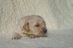Golden retriever puppy dog on a blanket Royalty Free Stock Photo
