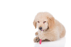 Golden Retriever puppy brushing his teeth Royalty Free Stock Photo