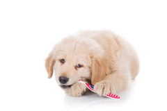 Golden Retriever puppy brushing his teeth front view Stock Photos