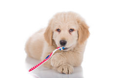 Golden Retriever puppy brushing his teeth front view Stock Images