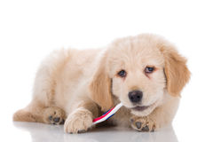 Golden Retriever puppy brushing his teeth sideways Stock Photo