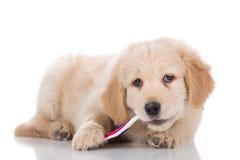 Golden Retriever puppy brushing his teeth sideways Stock Photo