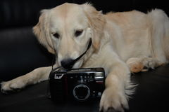 Golden Retriever Puppy With Camera. White Golden Retriever puppy is ready to take photos royalty free stock photo