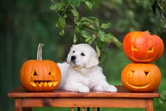 Golden retriever puppy with a carved pumpkins outdoors. Golden retriever puppy outdoors in summer royalty free stock image