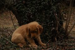 Golden Retriever Puppy Chewing Stick. Outside while sitting down in leaves Royalty Free Stock Photo