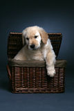 Golden retriever puppy climbing out of a basket Stock Photo