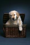 Golden retriever puppy climbing out of a basket. Cute golden retriever puppy coming out of a wicker basket Stock Photo
