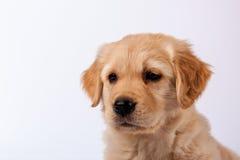 Golden Retriever Puppy. Close-up of cute Golden Retriever Puppy Royalty Free Stock Image