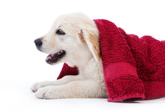 Golden Retriever Puppy Covered By Towel Royalty Free Stock Photo