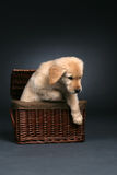 Golden retriever puppy crawling out of a basket. Cute golden retriever puppy crawling out of a wicker basket Royalty Free Stock Image
