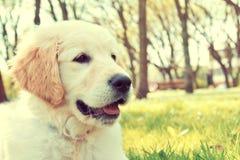 Golden retriever puppy. Stock Image