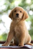 Golden retriever puppy Stock Photo