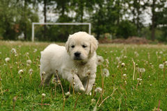 Golden retriever puppy between dandelions. On soccer playground Stock Image