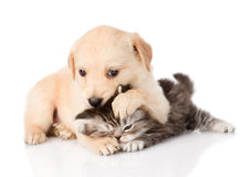 Golden retriever puppy dog and british cat fight. isolated on wh Royalty Free Stock Photography