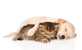 Golden retriever puppy dog and british cat sleeping together. isolated. On white stock photos
