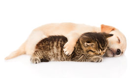 Golden retriever puppy dog and british cat sleeping together. isolated Royalty Free Stock Photos