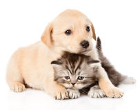 Golden retriever puppy dog and british cat together. isolated on Stock Photography