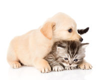 Golden retriever puppy dog and british cat together. isolated on white Royalty Free Stock Photo