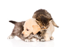 Golden retriever puppy dog and british cats fight. isolated Royalty Free Stock Photography