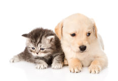 Golden retriever puppy dog and british tabby cat lying together. isolated Royalty Free Stock Photos