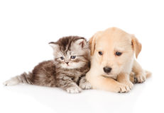 Golden retriever puppy dog and british tabby cat lying together. isolated Stock Photography