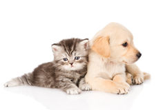 Golden retriever puppy dog and british tabby cat lying together. isolated Stock Photos