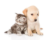 Golden retriever puppy dog and british tabby cat sitting togethe. isolted Stock Photo
