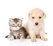 Golden retriever puppy dog and british tabby cat sitting together. isolated Stock Photos