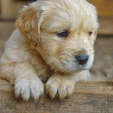 Golden retriever puppy dog Royalty Free Stock Image