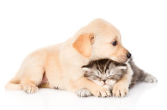 Golden retriever puppy dog hugging british cat. isolated. On white Stock Image