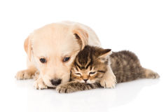Golden retriever puppy dog hugging british cat. isolated Stock Image
