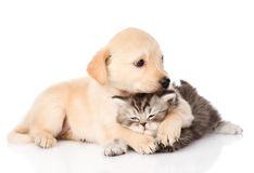 Golden retriever puppy dog hugging scottish cat. isolated on whi Stock Photography