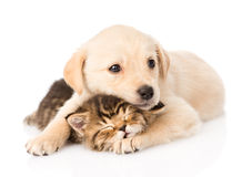 Golden retriever puppy dog hugging sleeping british cat. isolated. On white Royalty Free Stock Image