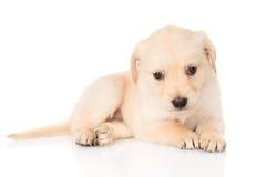 Golden retriever puppy dog. isolated on white background Stock Photo