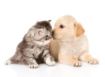 Golden retriever puppy dog kisses british tabby cat. isolated Royalty Free Stock Photography