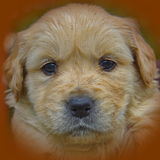 Golden Retriever puppy dog Stock Photography