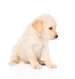 Golden retriever puppy dog in profile. isolated on white Royalty Free Stock Photo