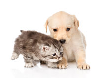 Golden retriever puppy dog and scottish tabby cat together. isolated Royalty Free Stock Image