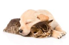 Golden retriever puppy dog sleep with british kitten. isolated. On white Royalty Free Stock Photos