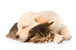 Golden retriever puppy dog sleep with british kitten. isolated Royalty Free Stock Photography