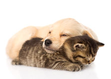 Golden retriever puppy dog sleep with scottish kitten. isolated Royalty Free Stock Photo