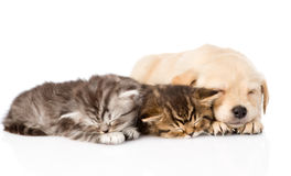 Golden retriever puppy dog sleep with two british kittens. isolated. On white Royalty Free Stock Photo
