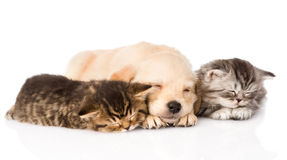 Golden retriever puppy dog sleep with two british kittens. isolated. On white Royalty Free Stock Photography