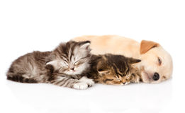 Golden retriever puppy dog sleep with two british kittens. isolated Royalty Free Stock Image