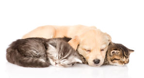 Golden retriever puppy dog sleep with two british kittens. isolated Stock Photo