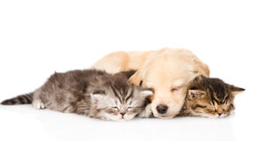 Golden retriever puppy dog sleep with two british kittens. isolated Royalty Free Stock Images