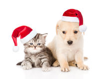 Golden retriever puppy dog and tabby cat with red christmas hats sitting together. isolated on white background royalty free stock photo