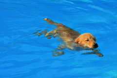 Golden Retriever Puppy Exercise in Swimming Pool Royalty Free Stock Images