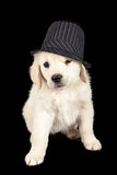 Golden Retriever Puppy Gangster Hat. Golden Retriever puppy wearing a pinstripe derby hat Stock Images