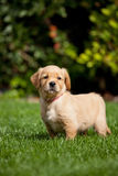 Golden retriever puppy Stock Photos